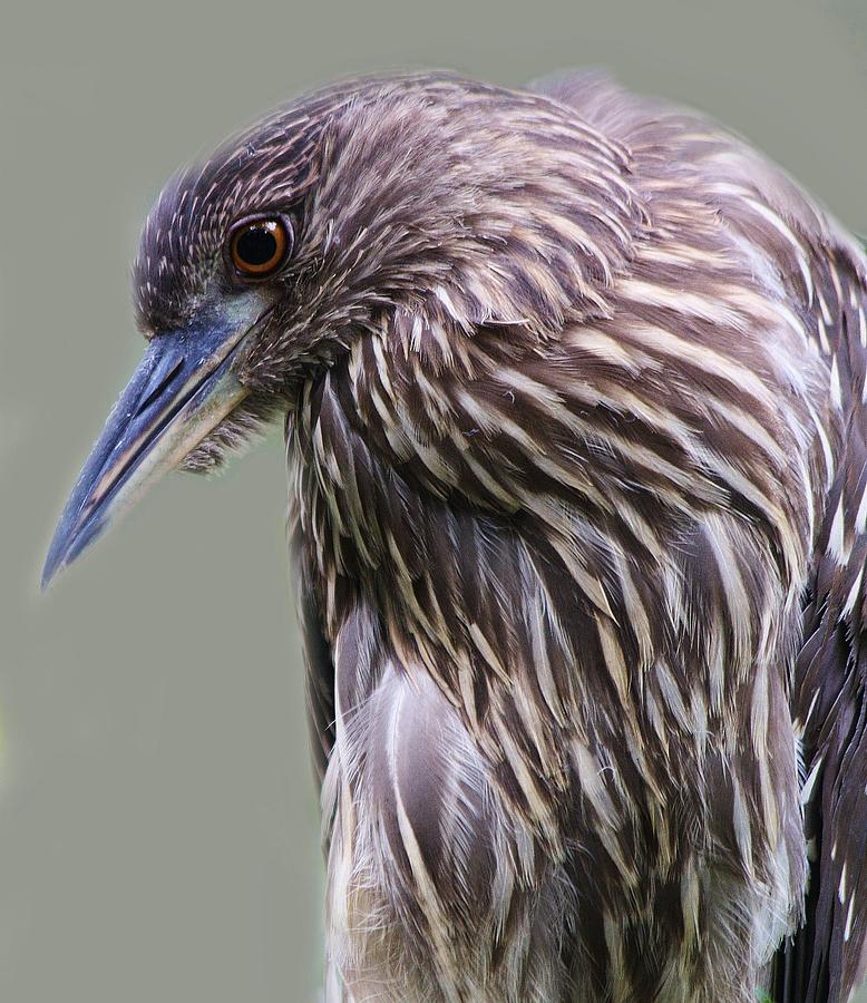 Juvenile Black Crowned Night Heron Photograph  - Juvenile Black Crowned Night Heron Fine Art Print