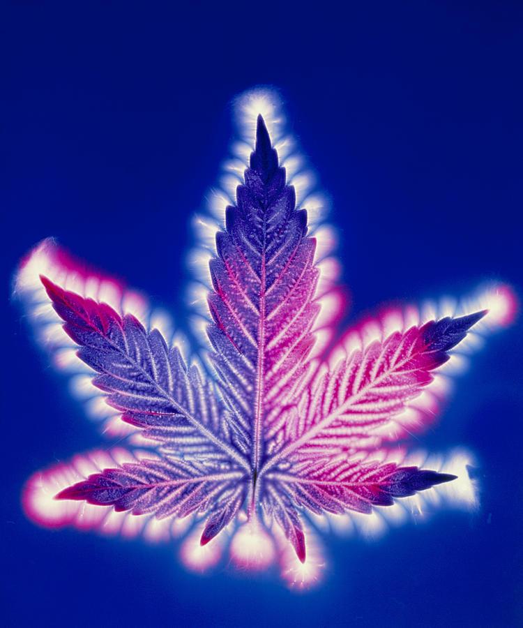 purple weed leaf wallpaper