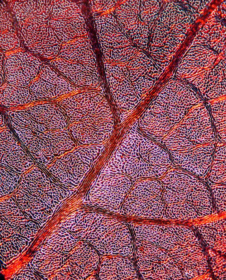 Leaf Anatomy, Light Micrograph Photograph  - Leaf Anatomy, Light Micrograph Fine Art Print