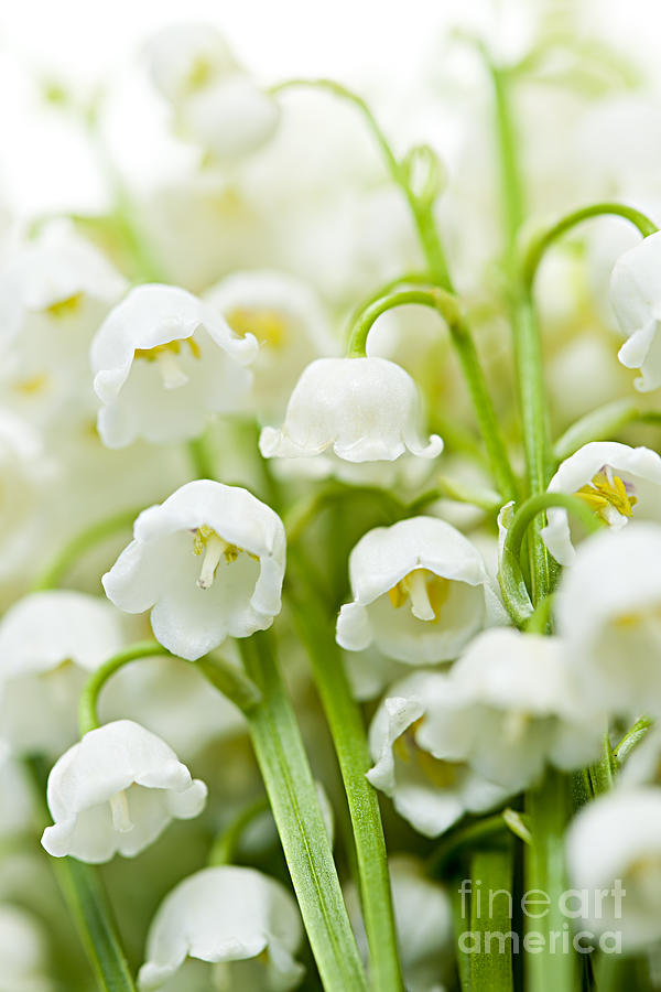 Lily-of-the-valley Flowers Photograph