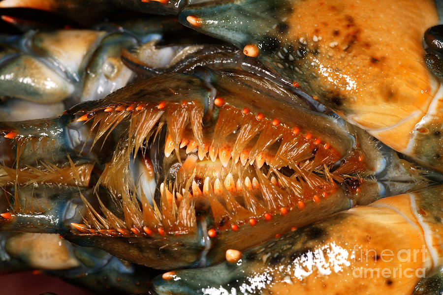 Lobster Mouth Photograph  - Lobster Mouth Fine Art Print
