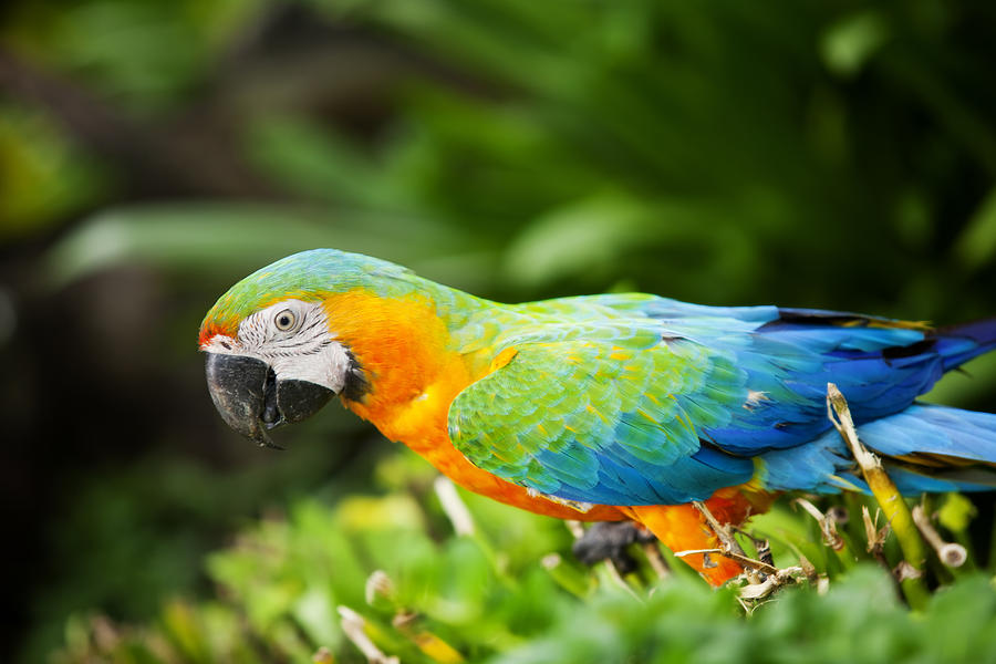 Macaw Photograph