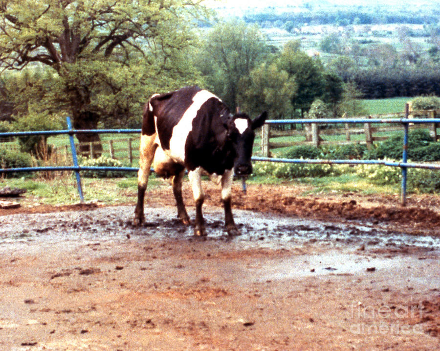 Mad Cow Disease Photograph