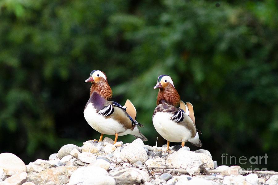 Mandarin Duck Aix Galericulata Photograph