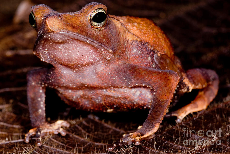 Rhinella Castaneotica Photograph - Para Toad by Dant� Fenolio