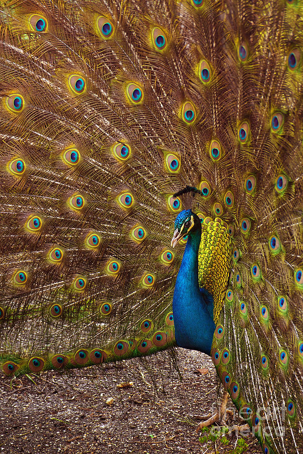 Peacock Photograph  - Peacock Fine Art Print