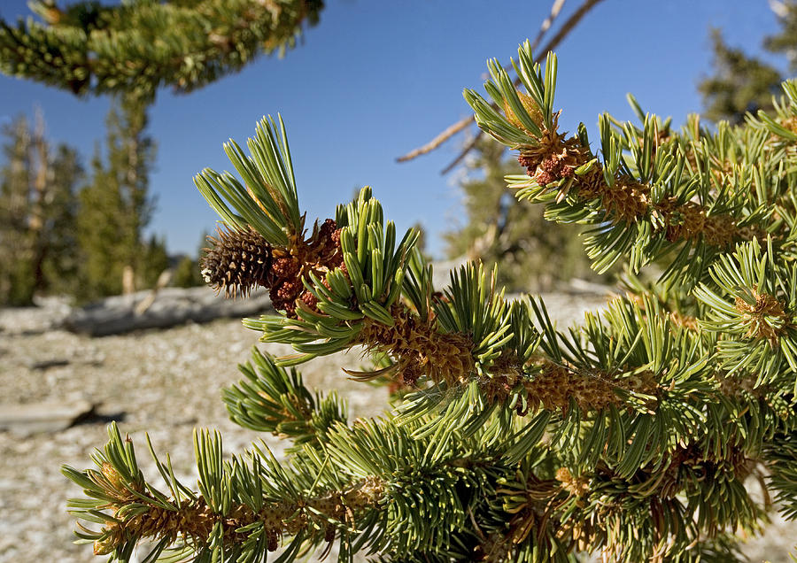 Pinus Longaeva Photograph