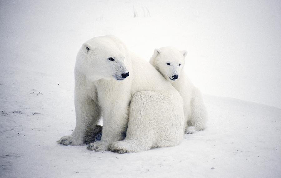 Polar Bear And Cub Photograph