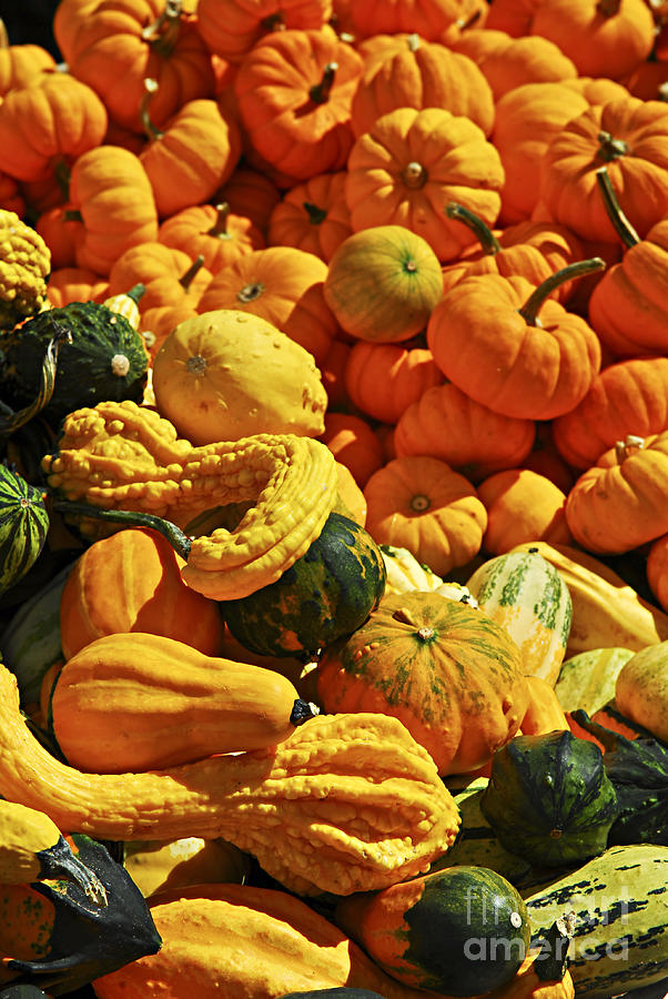 Pumpkins And Gourds Photograph  - Pumpkins And Gourds Fine Art Print
