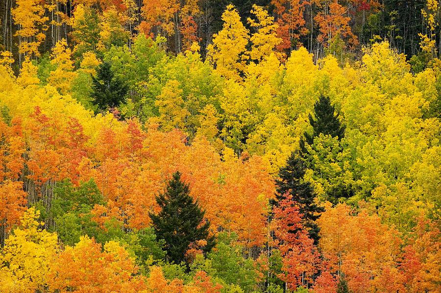 Quaking Aspen And Ponderosa Pine Trees Photograph
