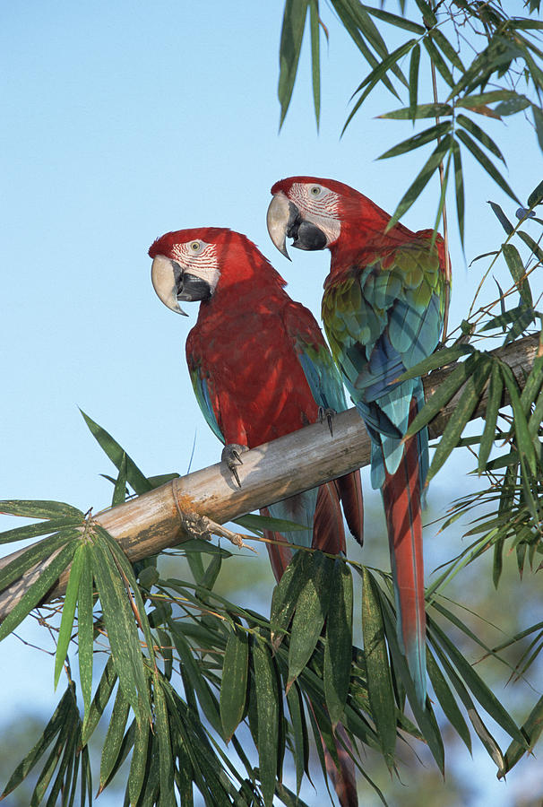 Red And Green Macaw Ara Chloroptera Photograph