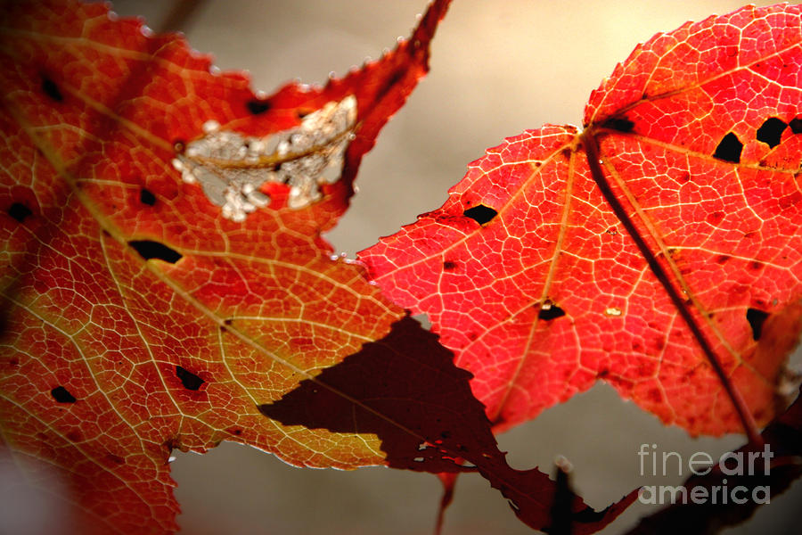 2 Red Leaves Photograph  - 2 Red Leaves Fine Art Print