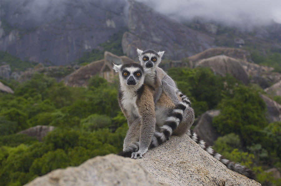 Ring-tailed Lemur Lemur Catta Mother Photograph