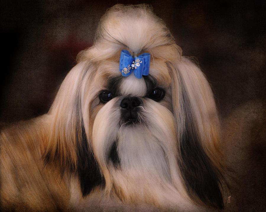 Animal Photograph - Shih Tzu by Jai Johnson