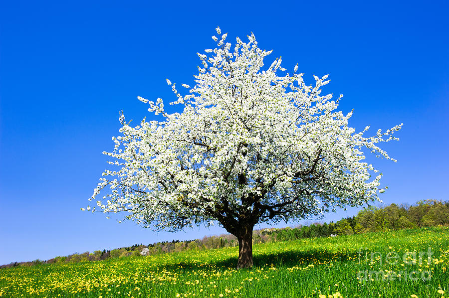 Single Blossoming Tree In Spring On Rural Meadow Photograph