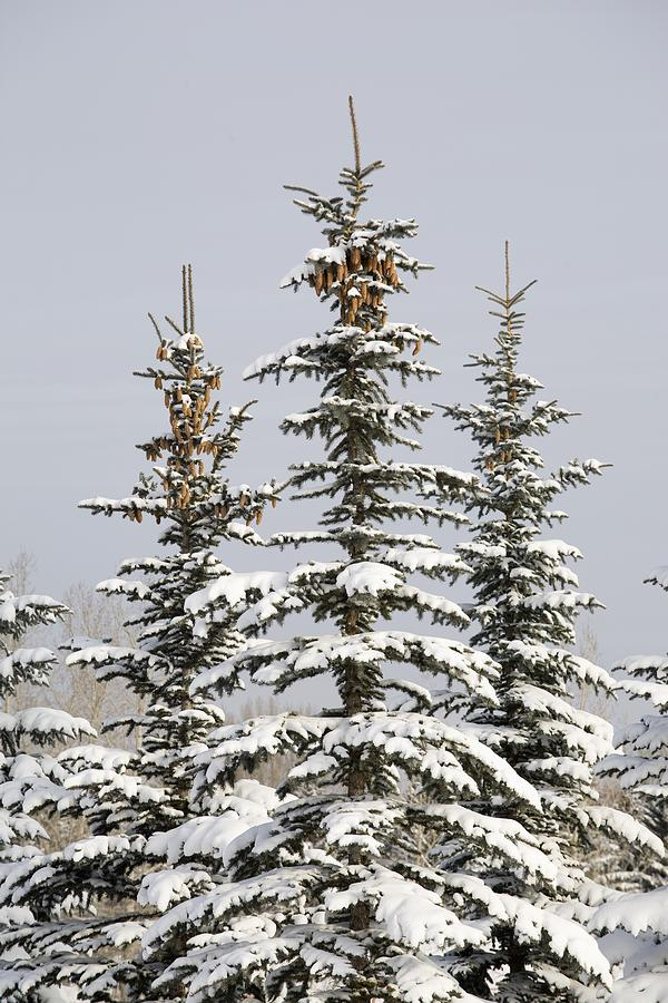 Snow Covered Evergreen Trees Calgary Photograph