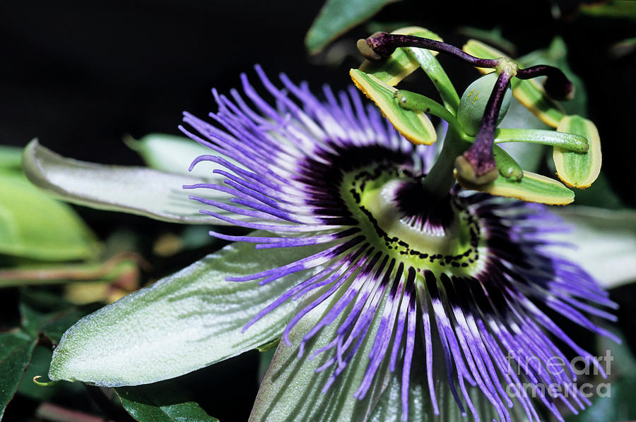 Stamen Of A Passionflower Photograph  - Stamen Of A Passionflower Fine Art Print