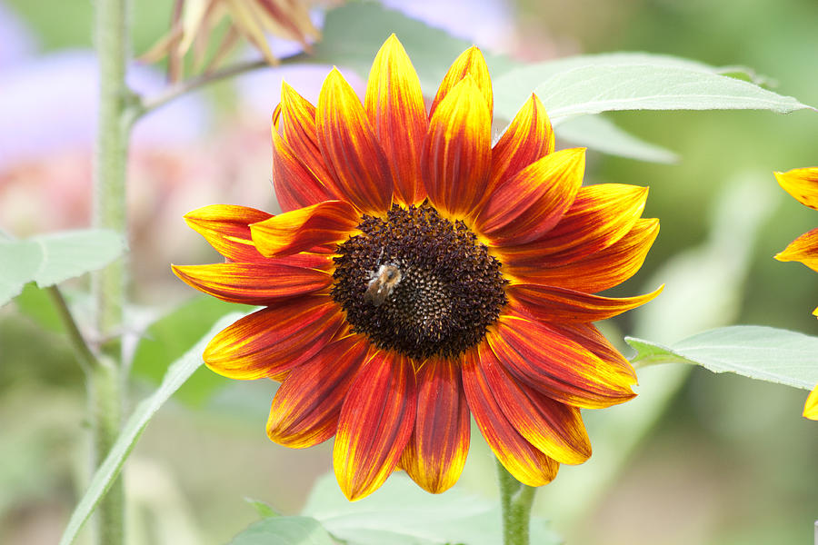 Sunflower Photograph  - Sunflower Fine Art Print