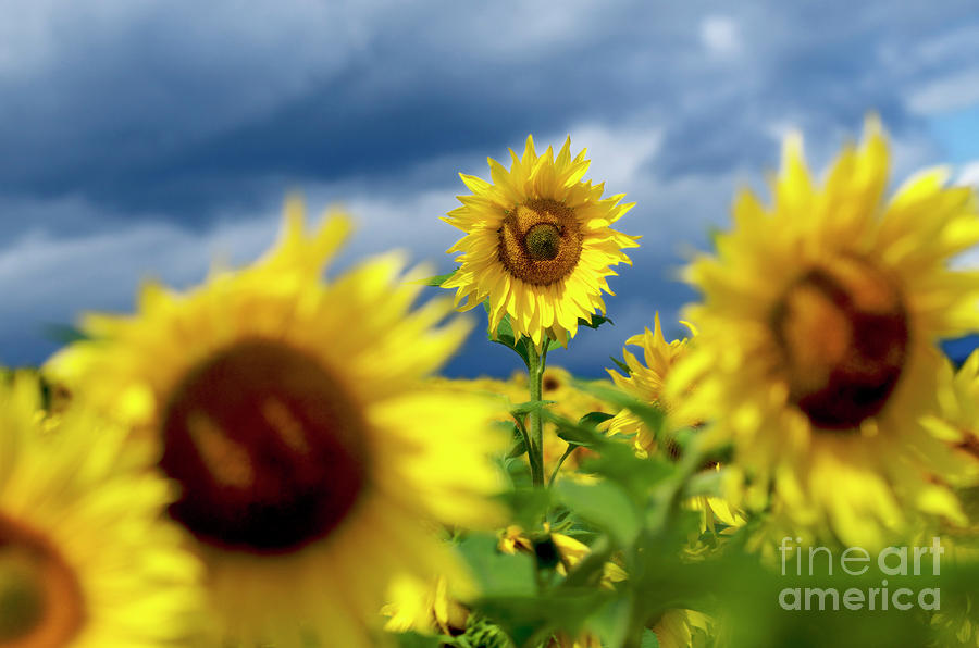 Agriculture Agricultural Crop Cultivate Cultivation Rural  Farming Field Countryside Environment Sunflower Yellow Flowers Oil Plant Photograph - Sunflowers by Bernard Jaubert