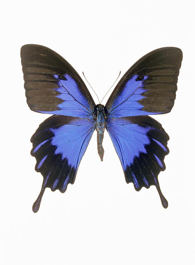 Swallowtail Butterfly Photograph