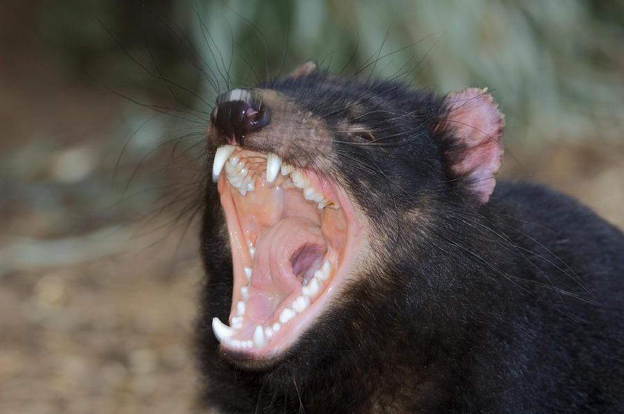 Tasmanian Devil Photograph