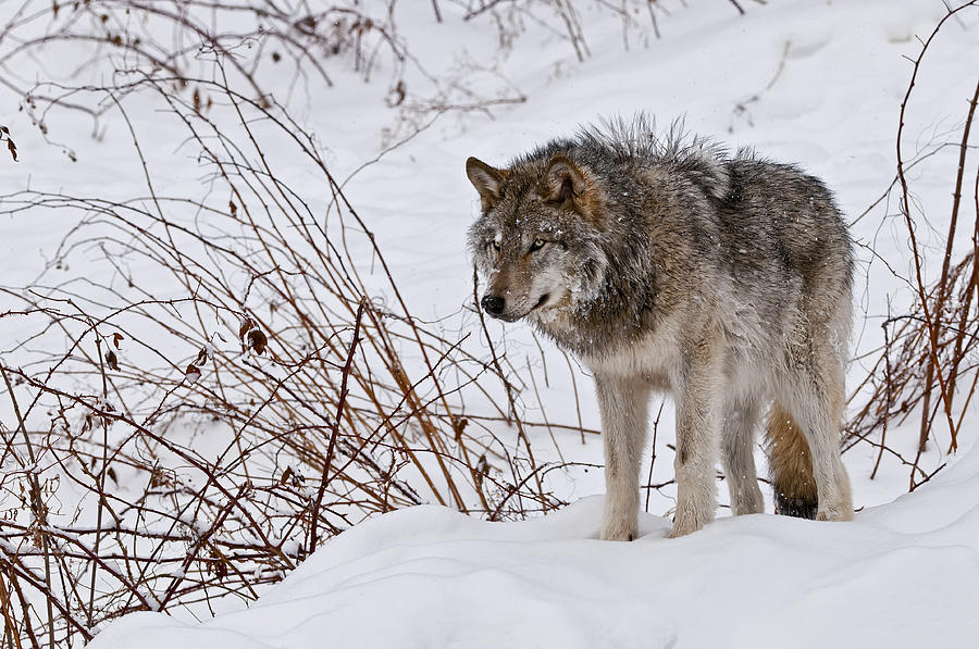 Timber Wolf In Winter Photograph
