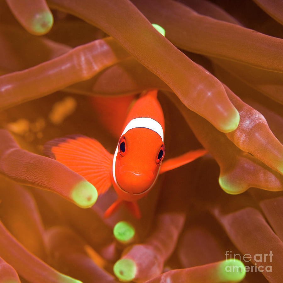 Tropical Fish Clownfish Photograph  - Tropical Fish Clownfish Fine Art Print