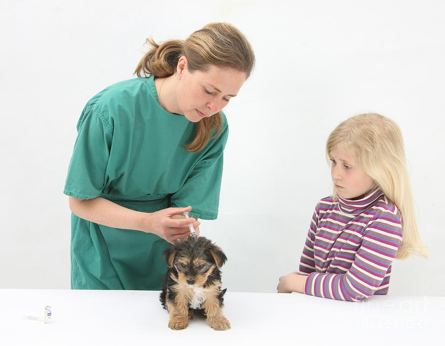Vet Giving Pup Its Primary Vaccination Photograph