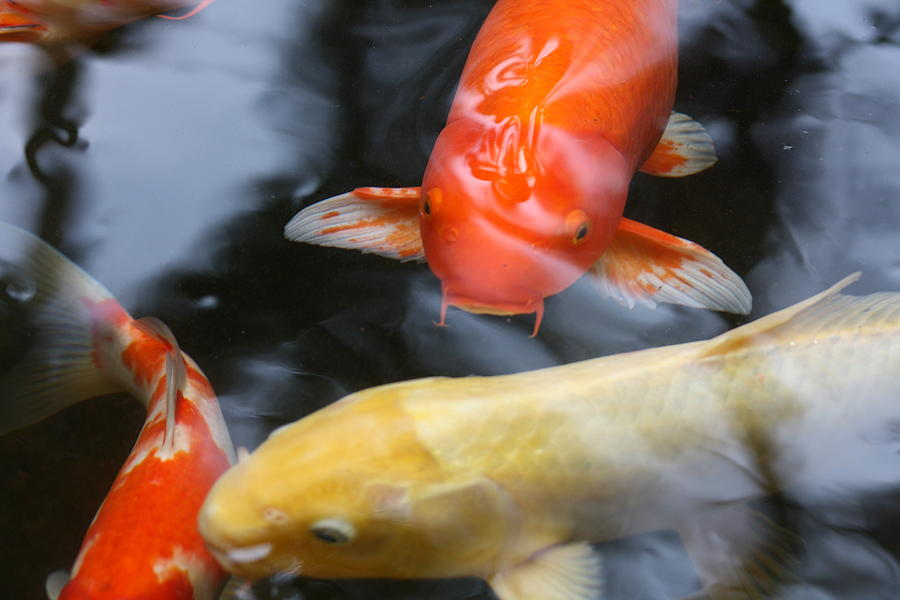 Information on goldfish and koi  including their types
