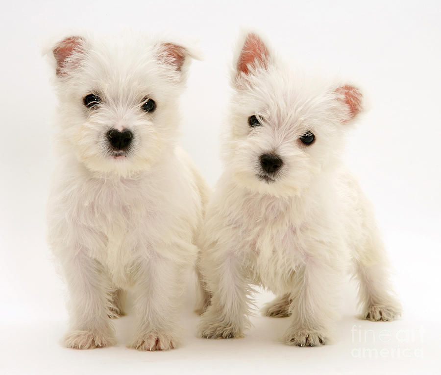 West Highland White Terriers Photograph