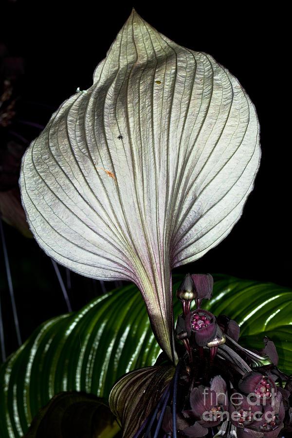 White Photograph - White Bat Plant by Johan Larson