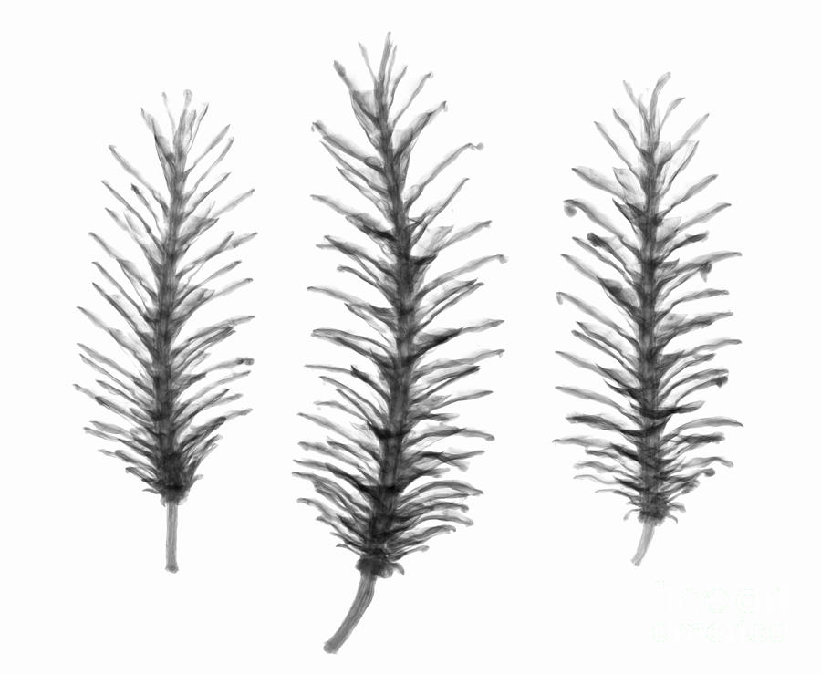 X-ray Of Pine Cones Photograph
