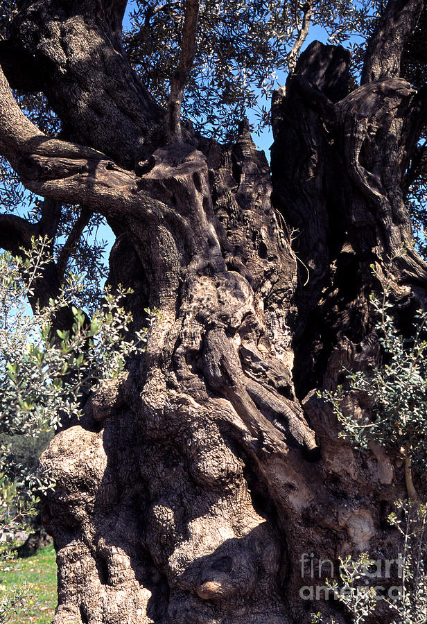 2000 Year Old Olive Tree Photograph