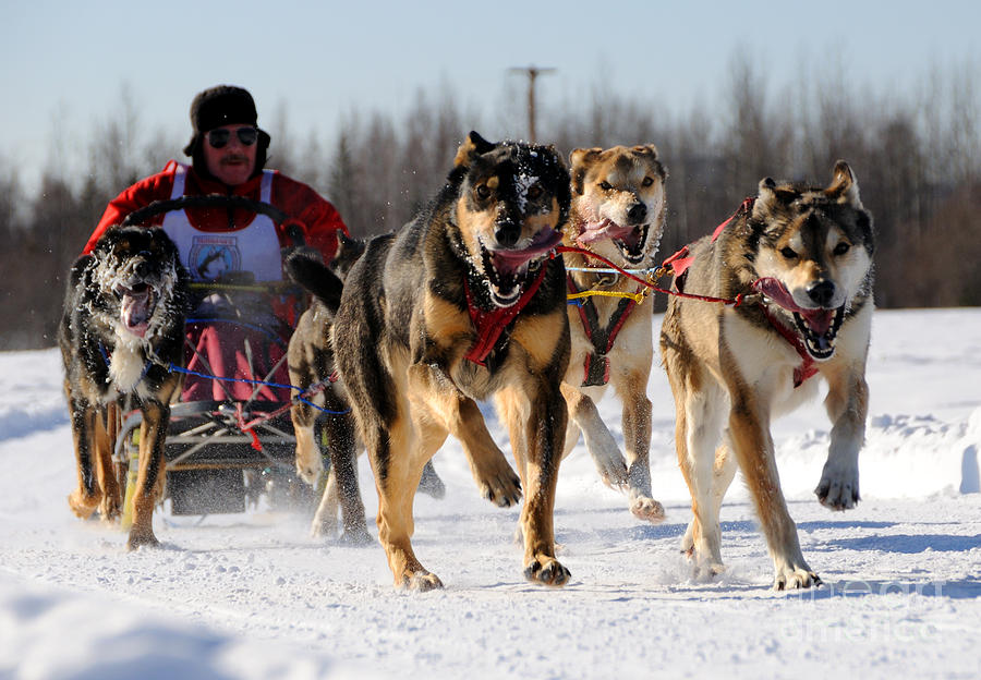 2011 Limited North American Sled Dog Race Photograph