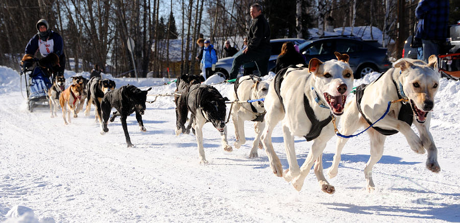 2011 Open North American Sled Dog Race Photograph