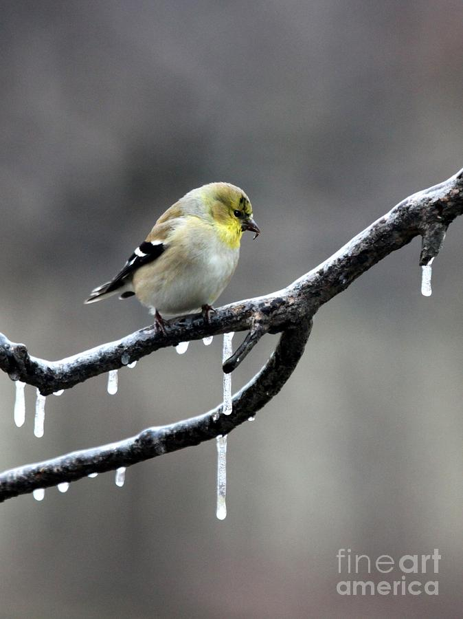 Nature Photograph - American Goldfinch by Jack R Brock