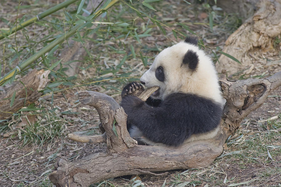 A Baby Panda Plays On A Branch Photograph