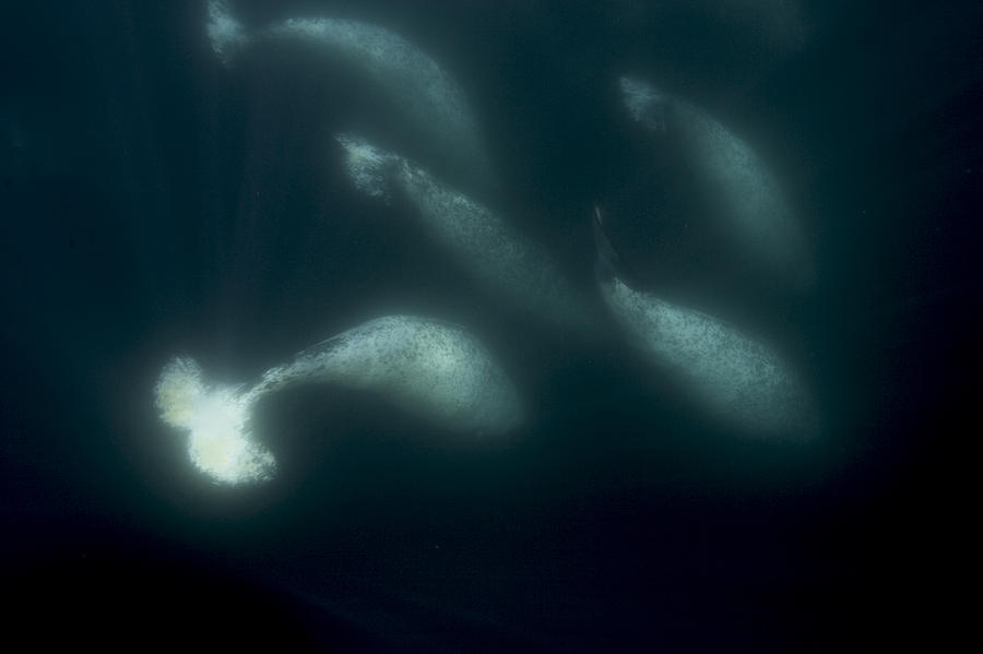 A Pod Of Male Narwhals Gather Photograph