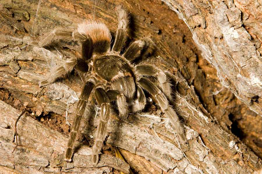 A Tarantula Living In Mangrove Forest Photograph