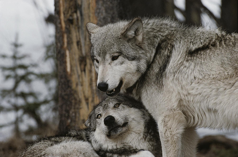 An alpha male gray wolf canis lupus photograph