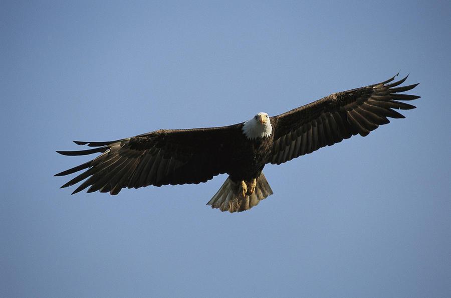 Bald eagles in flight - photo#27