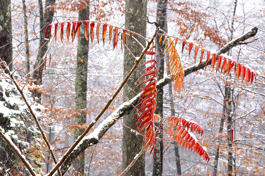 Autumn Snow Monongahela National Forest Photograph