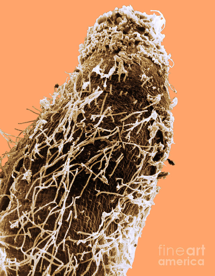 Bacteria On Sorghum Root Tip Photograph