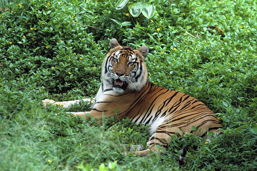 Bengal Tiger Panthera Tigris Tigris Photograph By Gerry Ellis
