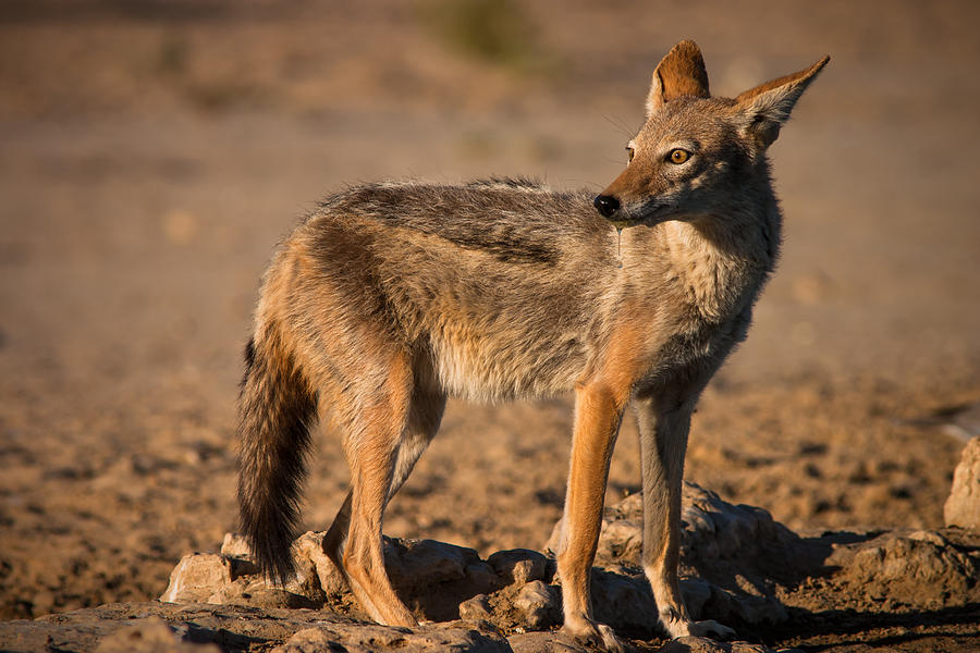 Black-backed Jackal Photograph  - Black-backed Jackal Fine Art Print