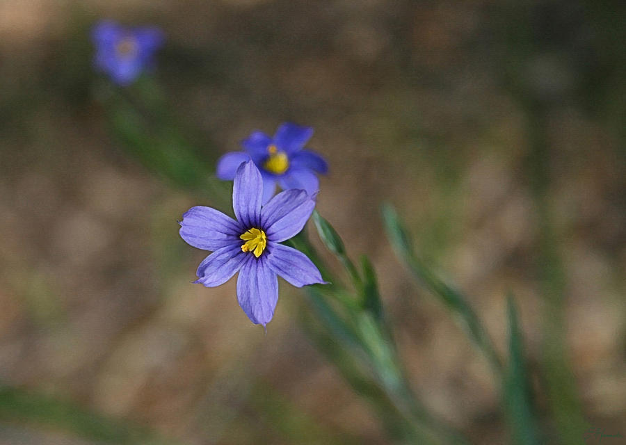 Blue Eyed Grass Painting  - Blue Eyed Grass Fine Art Print