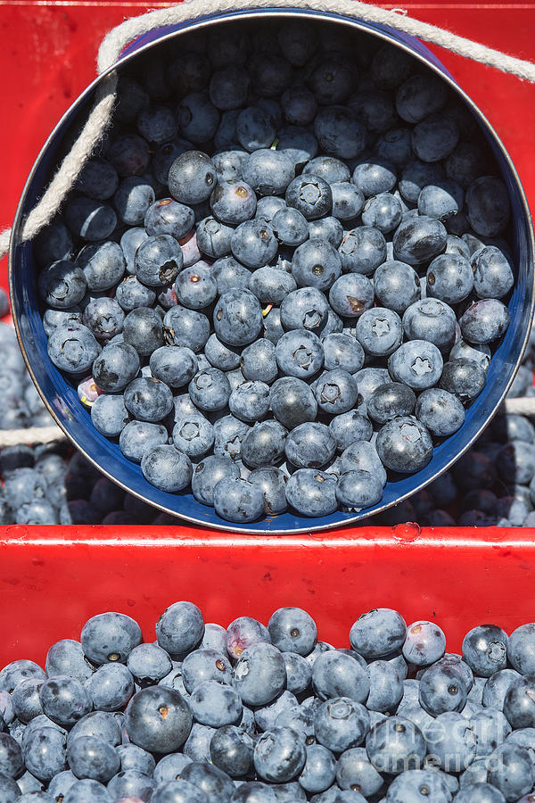 Blueberry Harvest Photograph