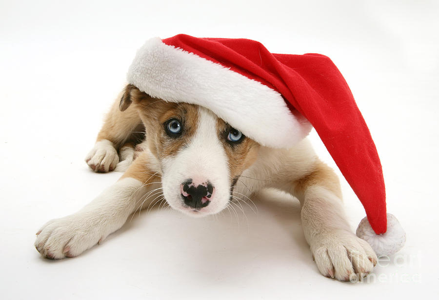 Border Collie Puppy Photograph