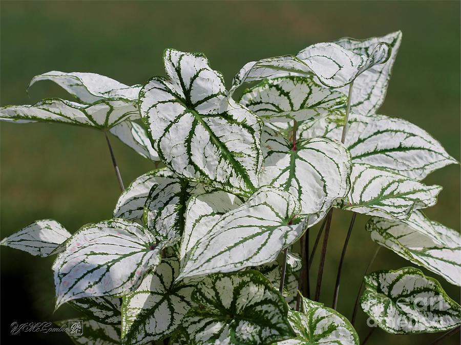 Caladium Named White Christmas Photograph  - Caladium Named White Christmas Fine Art Print