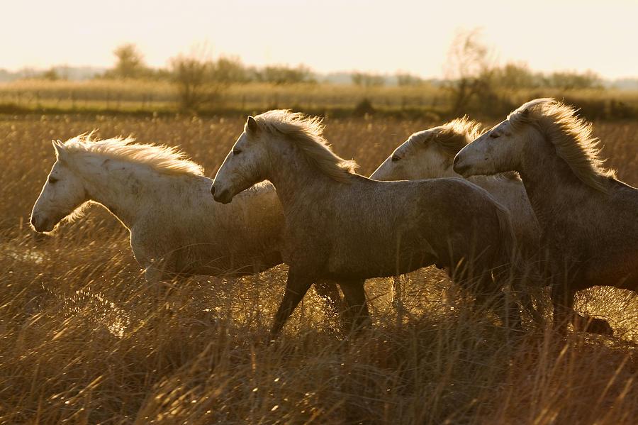 Camargue Horse Equus Caballus Group Photograph